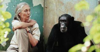 Jane Goodall com o chimpanzé Freud fotografada por Michael Neugebauer